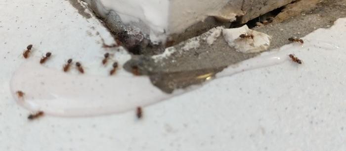 ameisen im haus ameisen bek mpfen der beste ameisenk der. Black Bedroom Furniture Sets. Home Design Ideas